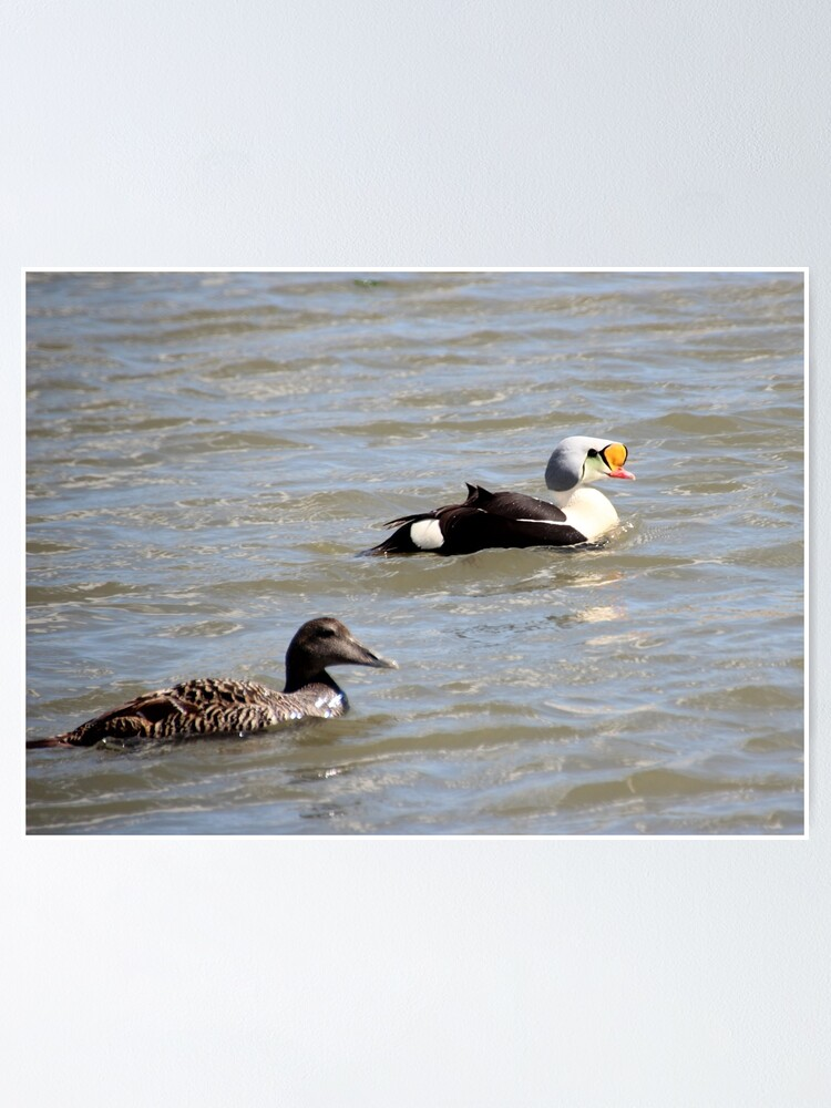 Alternate view of Eiders Poster