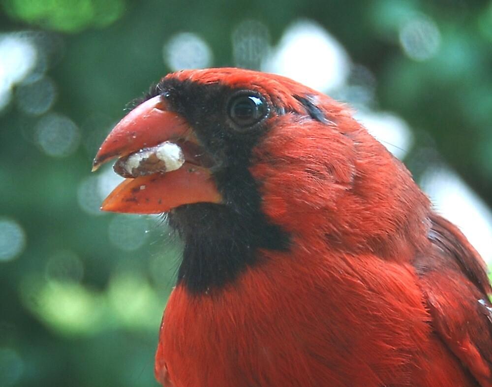 Northern Cardinal by G. David Chafin
