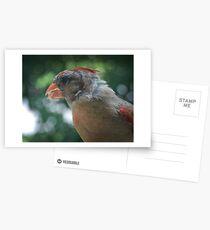 Young Northern Cardinal Postcards