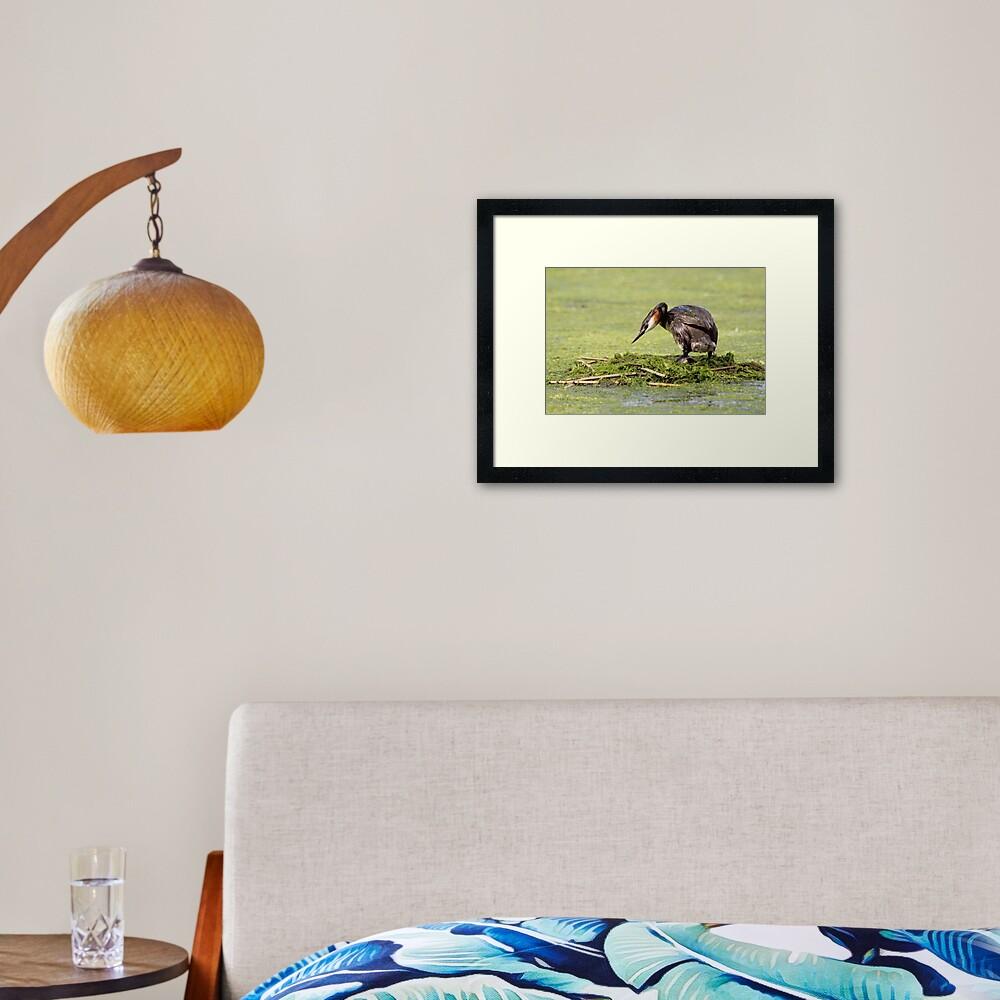 Great crested grebe Framed Art Print