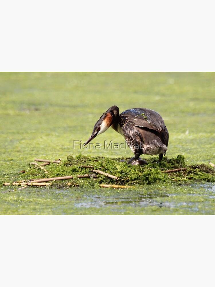 Great crested grebe by orcadia