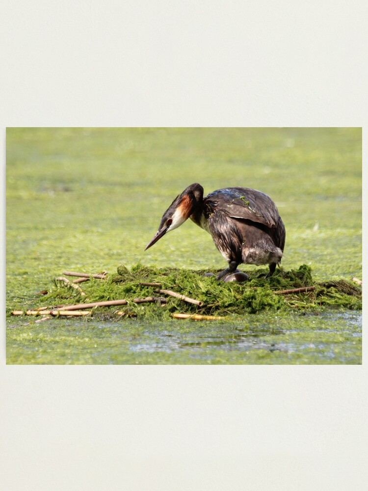 Alternate view of Great crested grebe Photographic Print