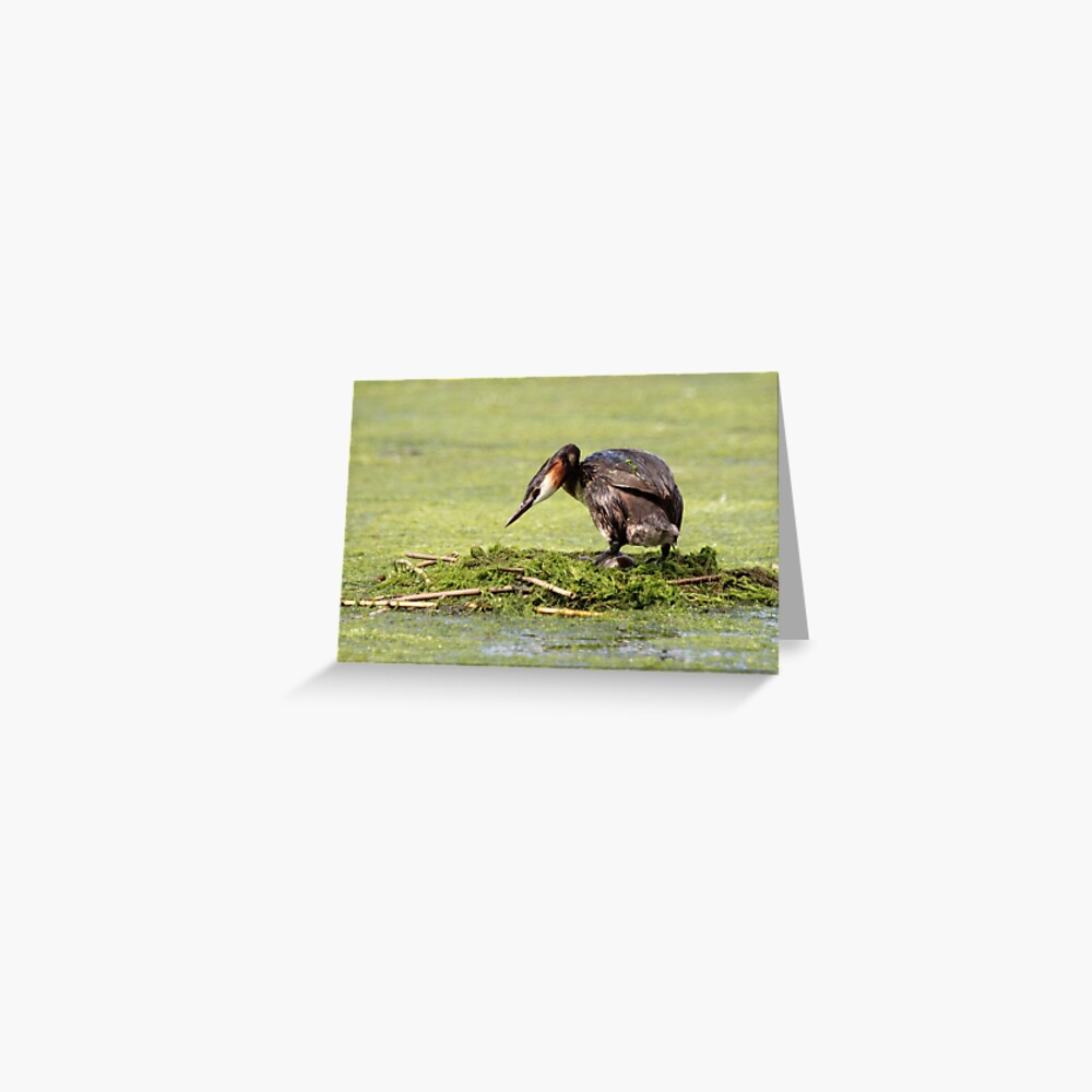Great crested grebe Greeting Card
