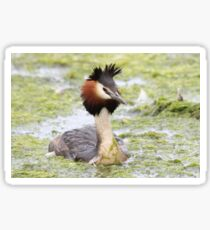 Great crested grebe Sticker