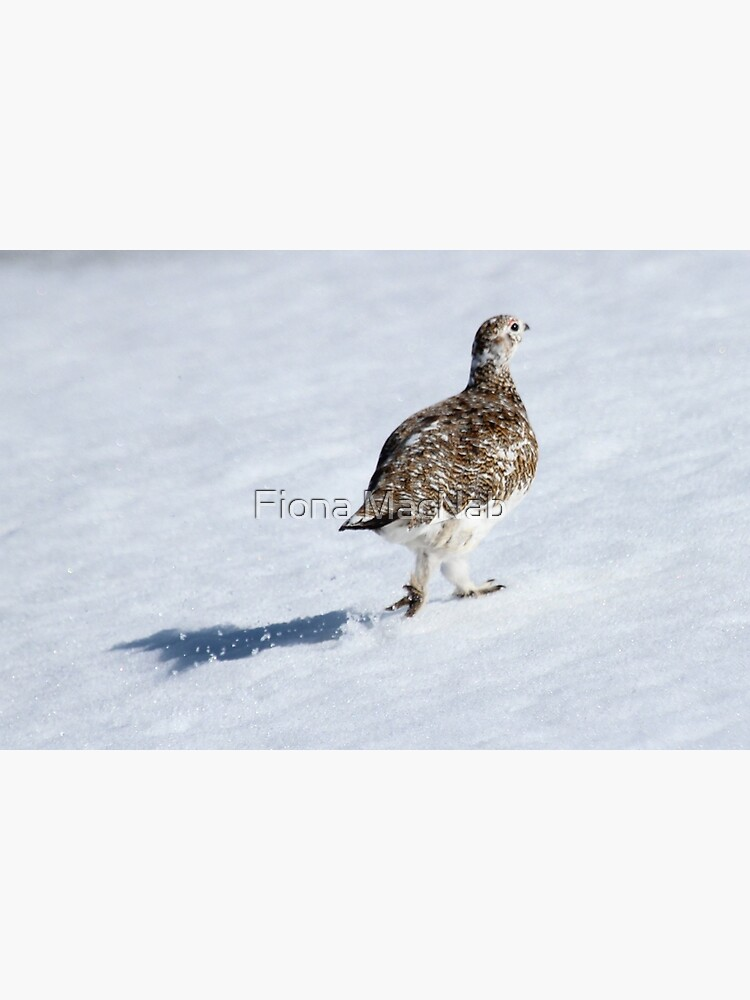 Ptarmigan by orcadia