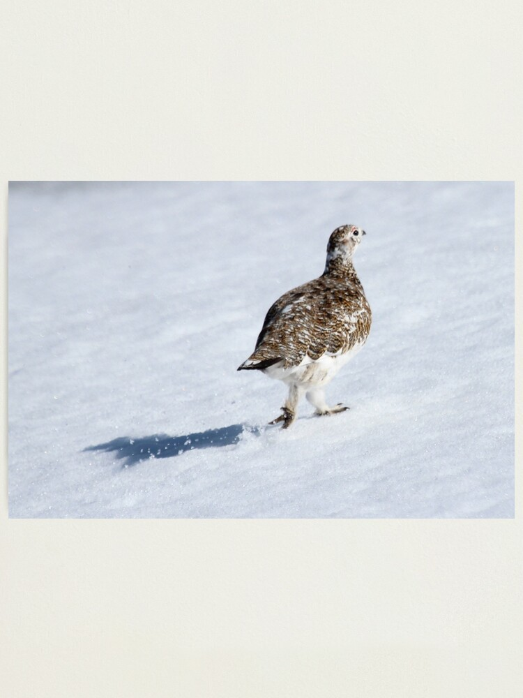 Alternate view of Ptarmigan Photographic Print