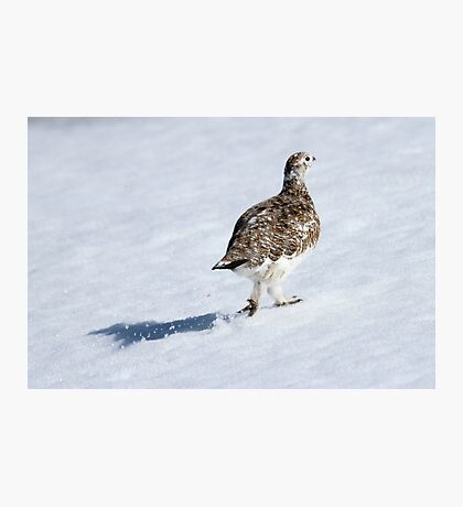 Ptarmigan Photographic Print