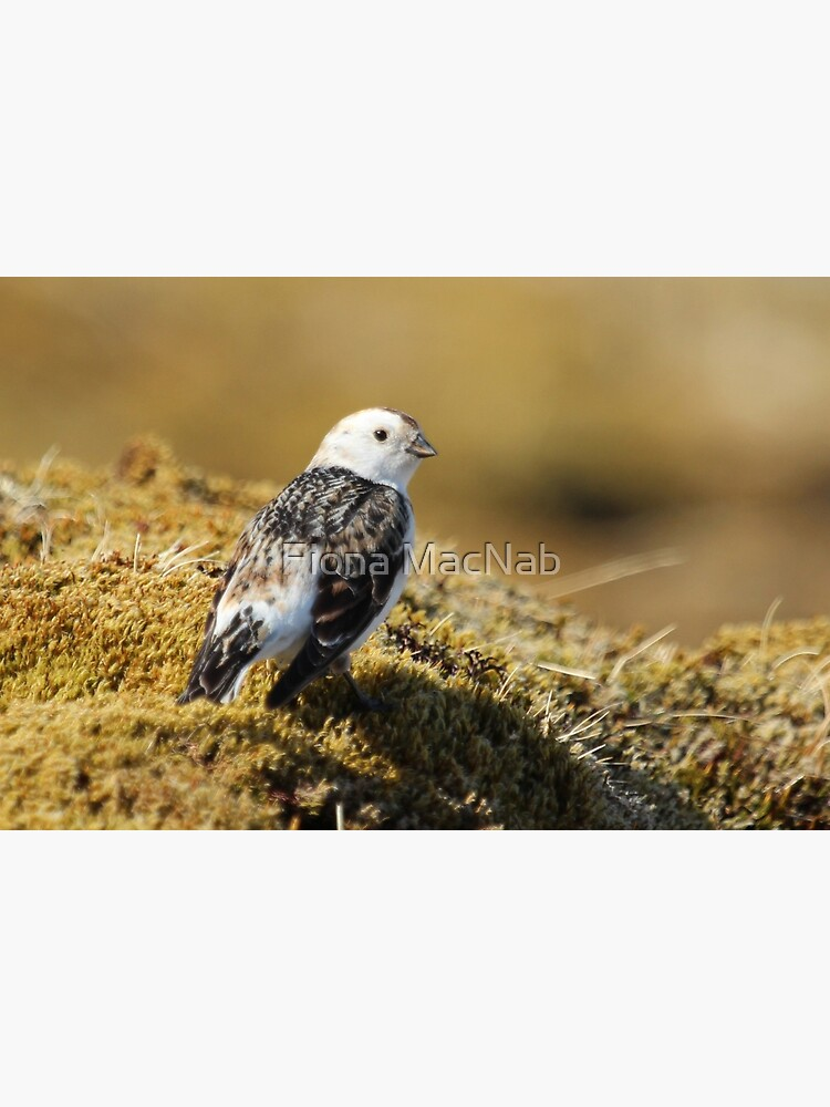 Snow bunting by orcadia