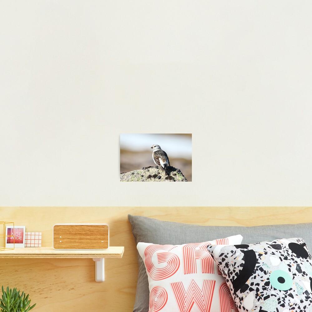 Snow bunting Photographic Print