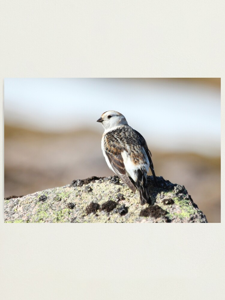 Alternate view of Snow bunting Photographic Print