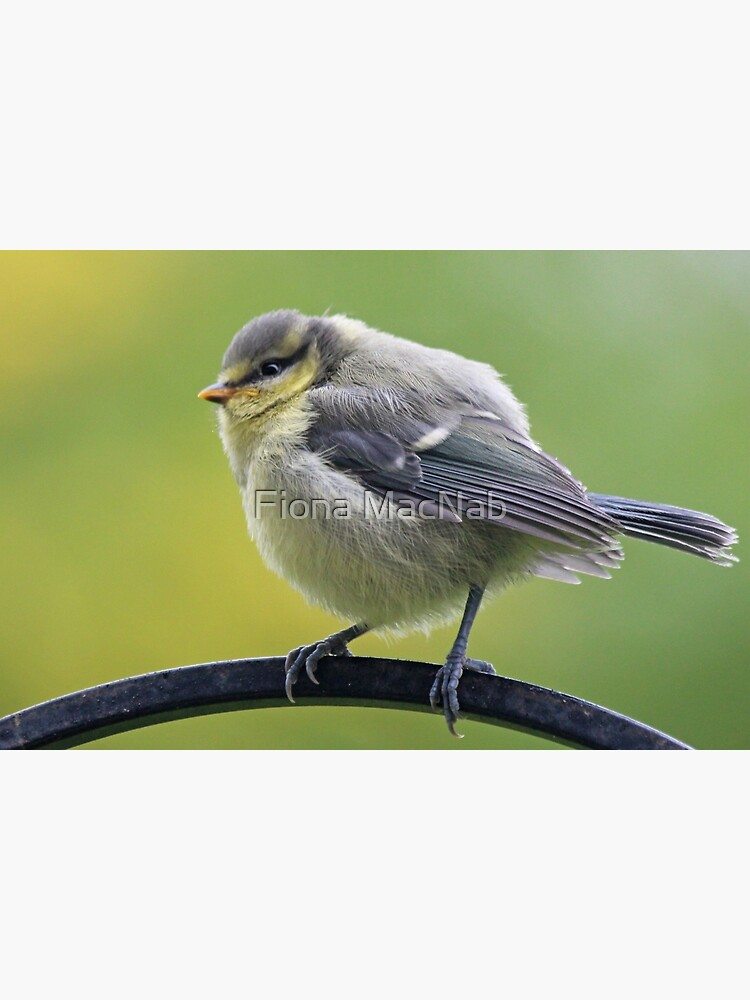 Young blue tit by orcadia