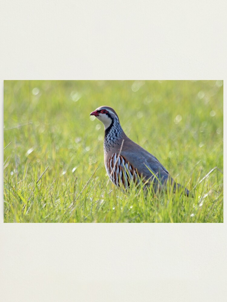Alternate view of Red legged partridge Photographic Print