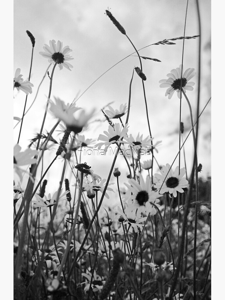 Oxeye daisies by orcadia