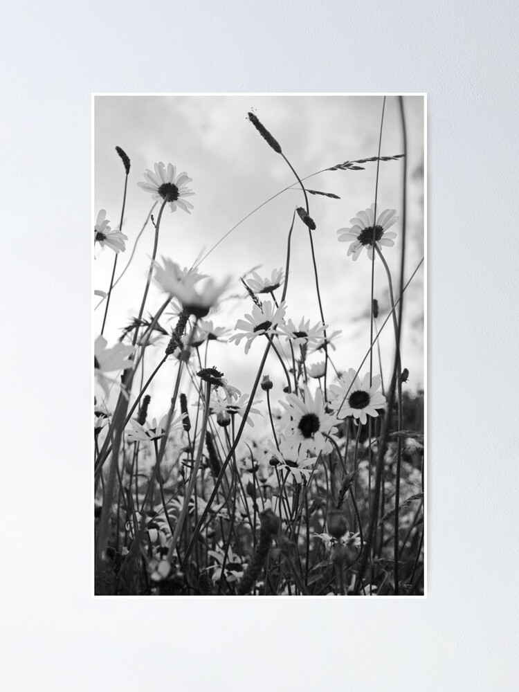 Alternate view of Oxeye daisies Poster