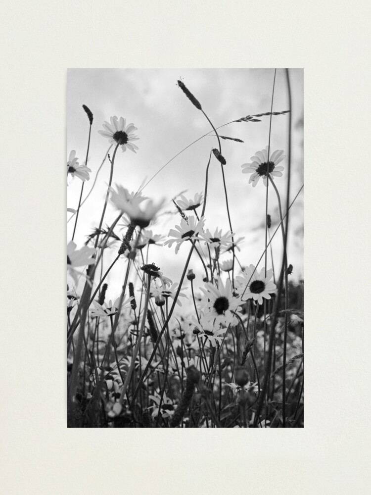 Alternate view of Oxeye daisies Photographic Print