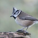 Crested tit by Fiona MacNab