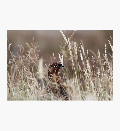 Grouse pose Photographic Print