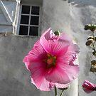 Rose trémière or Hollyhock on the Ile de Re France by graceloves