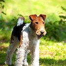 Fox Terrier by ilpo laurila