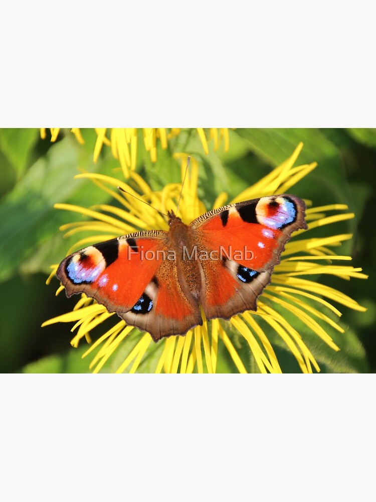 Peacock butterfly by orcadia