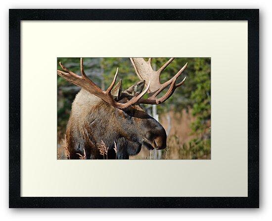 Bull Moose by mikewheels