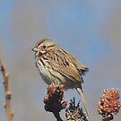 Bird-Song Sparrow IPhone Case by Lynda   McDonald