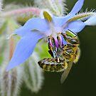 BLUE FLOWER by mc27
