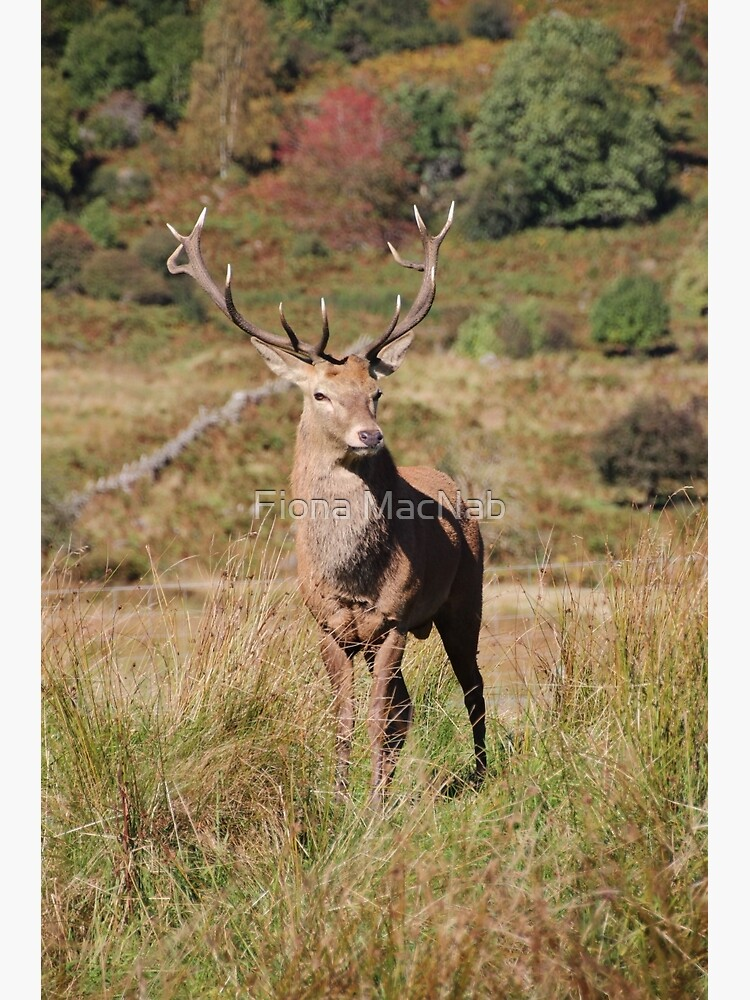 Monarch of the Glen by orcadia