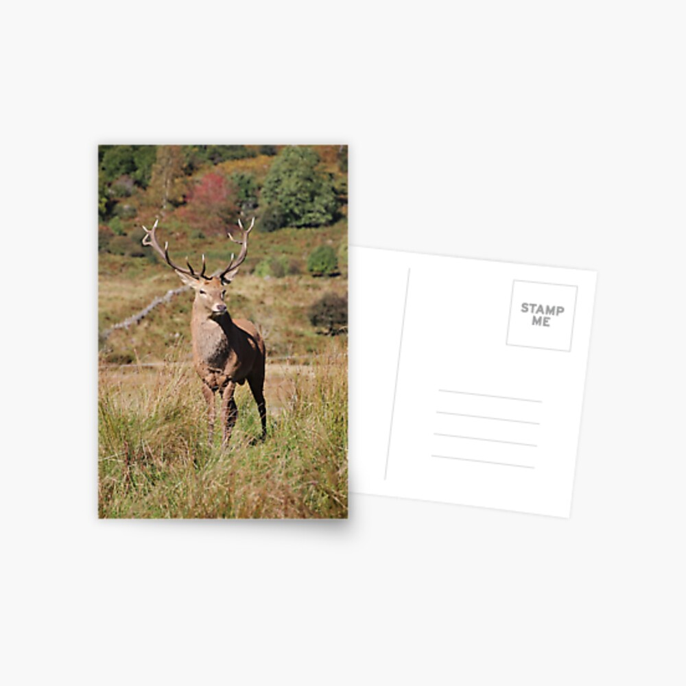 Monarch of the Glen Postcard
