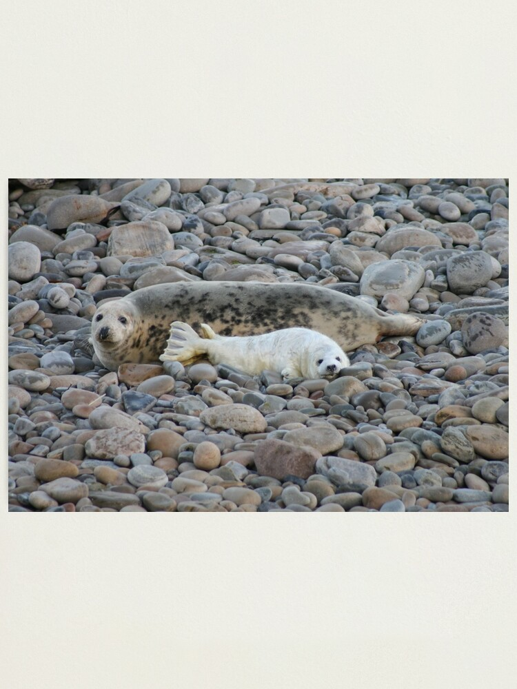 Alternate view of Grey seal & pup Photographic Print