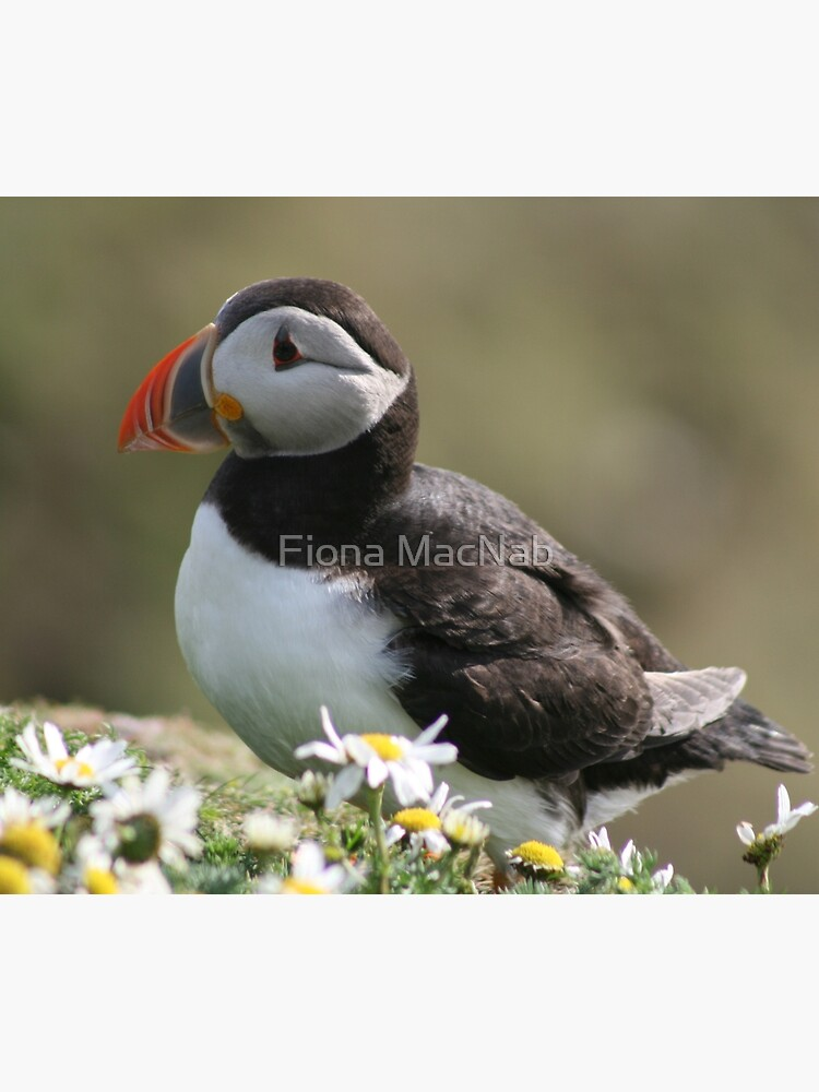 Sumburgh puffin by orcadia