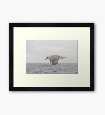 Fulmar Fly Past Framed Print