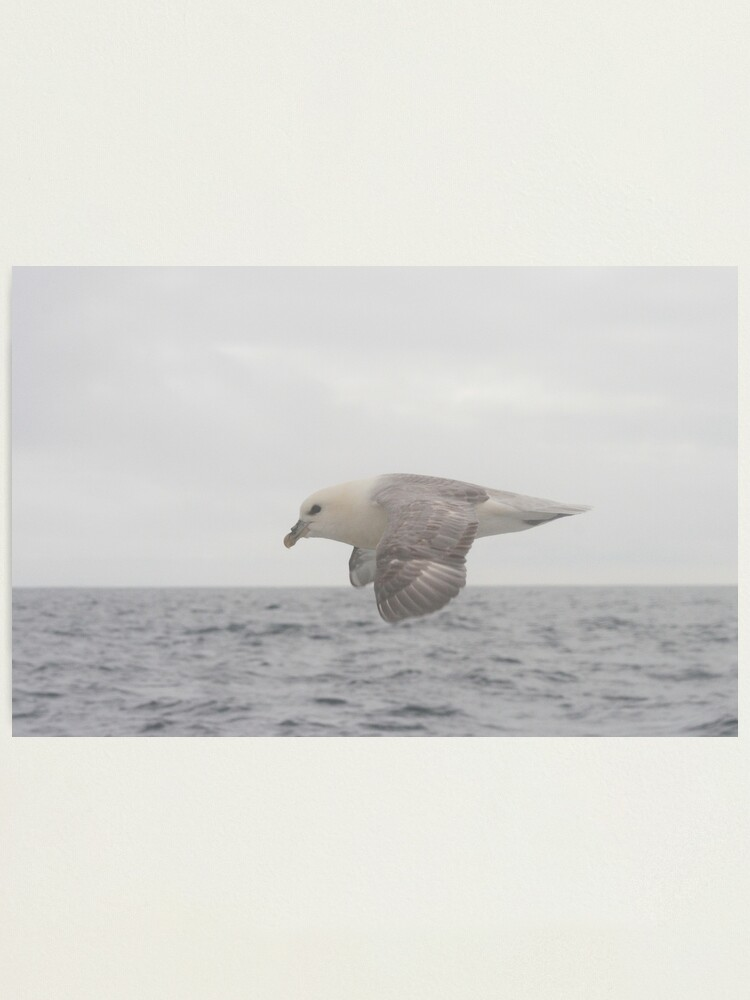Alternate view of Fulmar Fly Past Photographic Print
