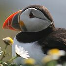 Resting puffin by Fiona MacNab