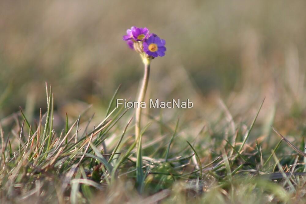 Primula Scotica by Fiona MacNab