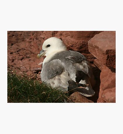 Fulmar Photographic Print