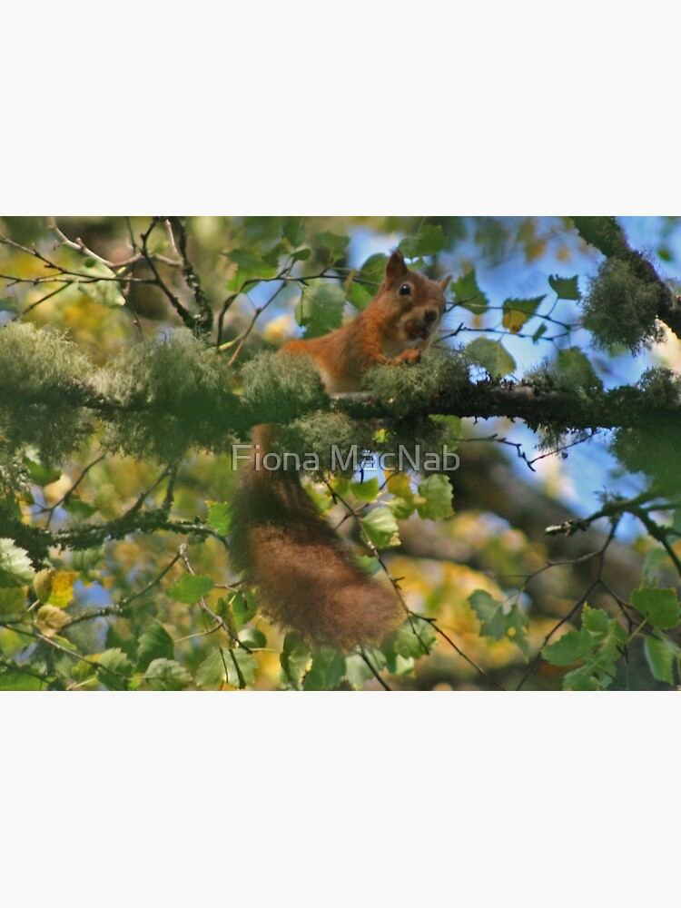 Red Squirrel by orcadia