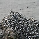 Gannets galore by Fiona MacNab