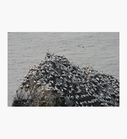 Gannets galore Photographic Print