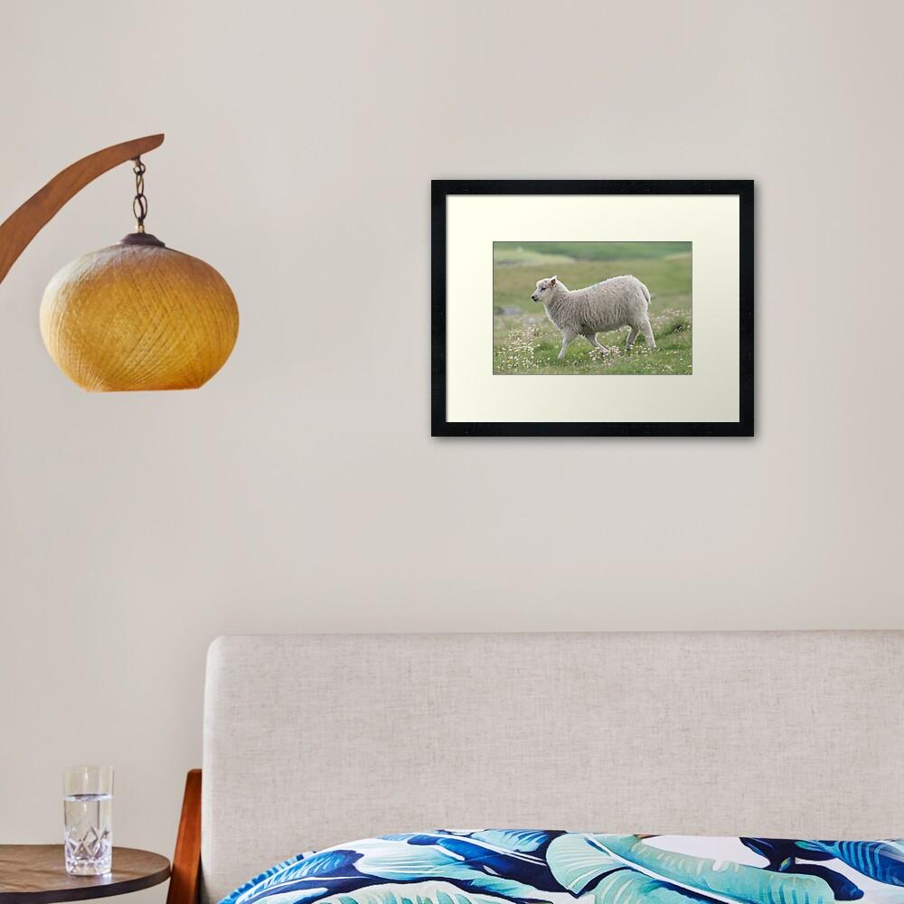 Shetland lamb Framed Art Print