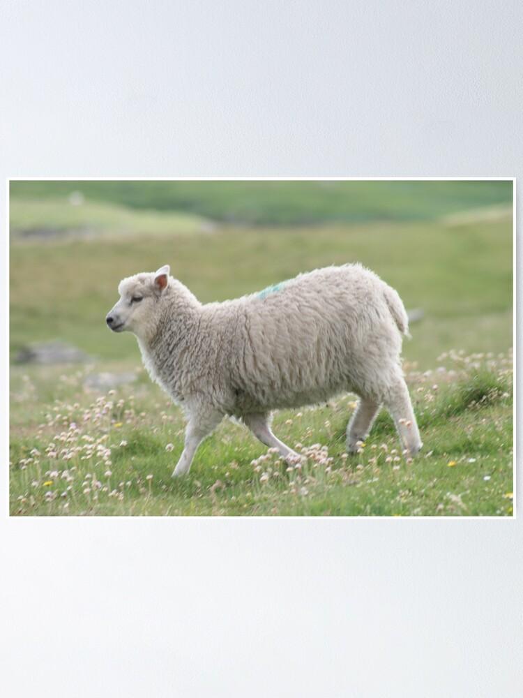 Alternate view of Shetland lamb Poster