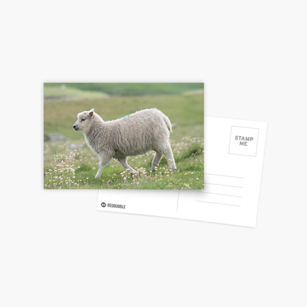 Shetland lamb Postcard