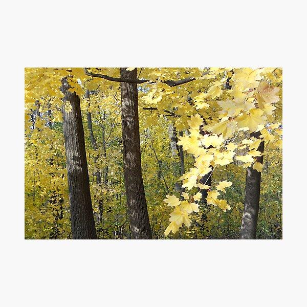 Maple Gold Photographic Print