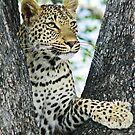 Young leopard in classic position in tree(This my tree!) by Anthony Goldman