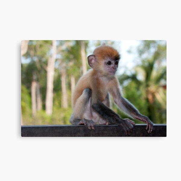 Baby Silver Leaf Monkey Canvas Print