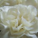 White petals by Themis