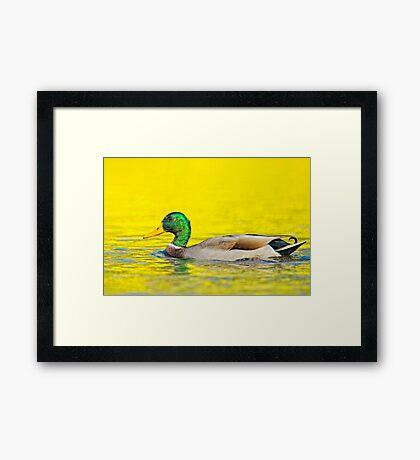 Fall Mallard Framed Print