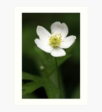 Canada Anemone (Anemone canadensis) Art Print