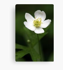 Canada Anemone (Anemone canadensis) Canvas Print