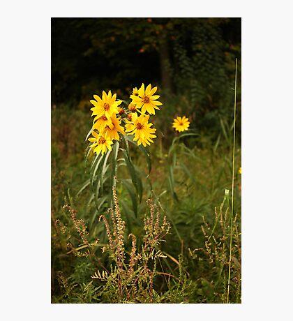Wild Yellow Flower Photographic Print